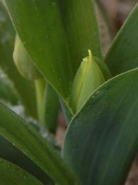 Holland_tulips