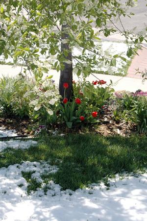 Snow_n_tulips_blog